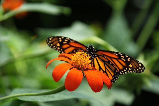 Many pollinator species have migration routes that cover hundreds and even thousands of miles. (Publicdomainpictures)