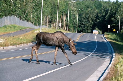 Since 2008, vehicles have killed 45 moose along Wyoming Highway 390. (John J. Mosesso/Wikimedia Commons)