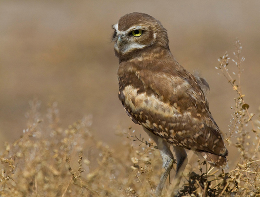 "Tonight's episode of ""Yellowstone Live"" features burrowing owls on the American Prairie Reserve. (Dennis J. Lingohr/American Prairie Reserve)"