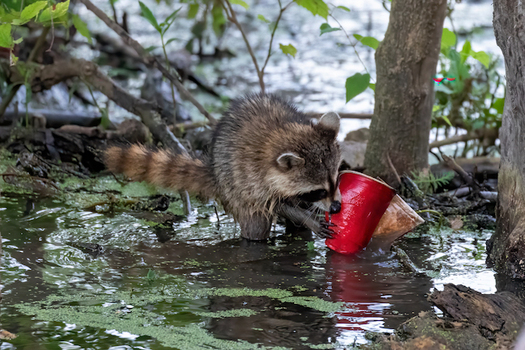 A raccoon gnaws on a red plastic cup. Tennesseans have submitted hundreds of photos of trash across the state as part of a litter awareness campaign. (Eddie Johnson/Tenn. Wildlife Federation)