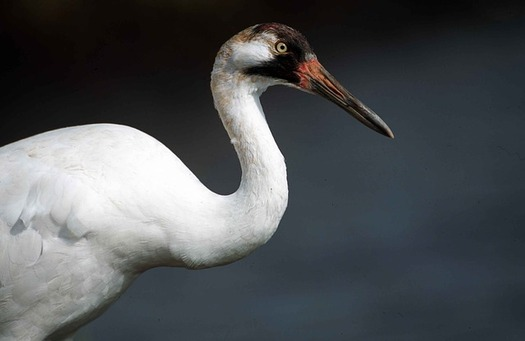 Whooping cranes are an endangered species in Nebraska. Congress is considering funding proactive efforts to prevent species from becoming endangered. (Pixabay)