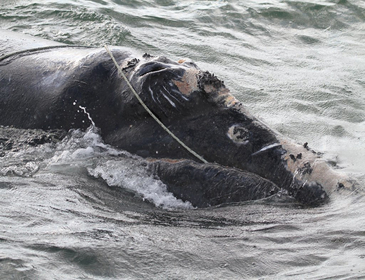 According to the Center for Coastal Studies, at least eight right whales already have been found dead this year. (NOAA)