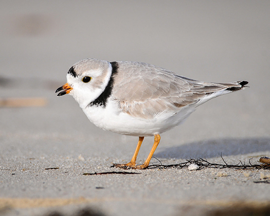 Massachusetts Attorney General Maura Healey says the Trump administration's new rules would hinder recovery efforts such as the cooperative state and federal actions that have increased the piping plover population in Massachusetts by 500% since 1990. (U.S. Fish and Wildlife Service)