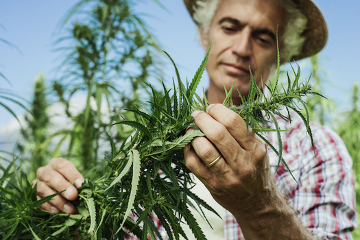 Licenses to hemp growers in Wisconsin grew from about 250 in 2018 to 1,400 in 2019. (StockPhotoPro/Adobe Stock)