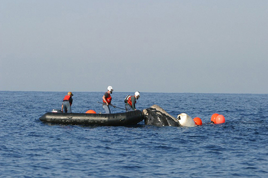 North Atlantic right whales get caught in lobster and crab fishing lines, preventing them from swimming, diving or feeding normally. (Photo courtesy of NOAA)