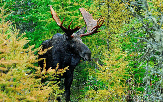 Researchers say unprecedented numbers of moose are dying from anemia caused by excessive tick bites (W. Kriss Ebersold/EPA).