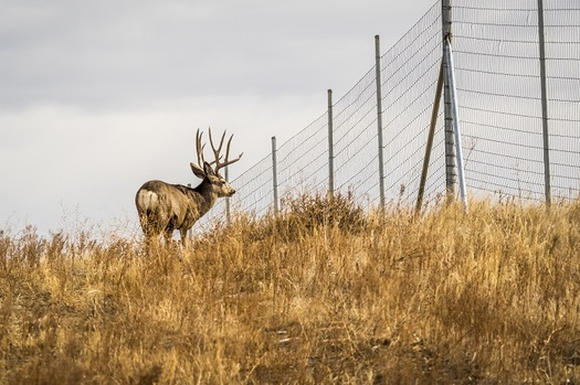 A Colorado mule deer is blocked by range fencing. A new state program is designed to have state agencies coordinate with federal and local governments and others to keep clear and preserve the state's migration corridors. (AdobeStock)