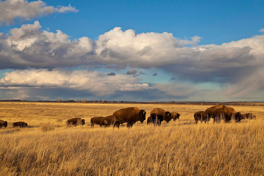 The American Prairie Reserve bison herd has grown to about 850 animals. (Dennis J. Lingohr/American Prairie Reserve)