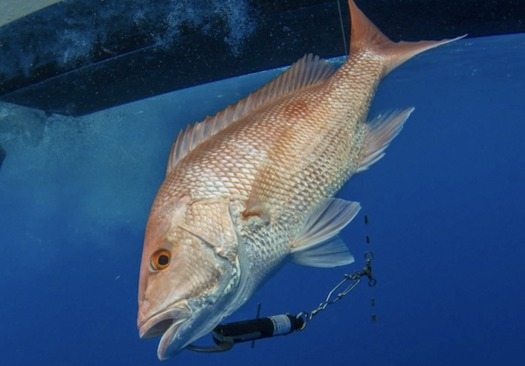 A red snapper clipped to a weighted descending device at the surface, returning to the deep. (Adrian Gray)