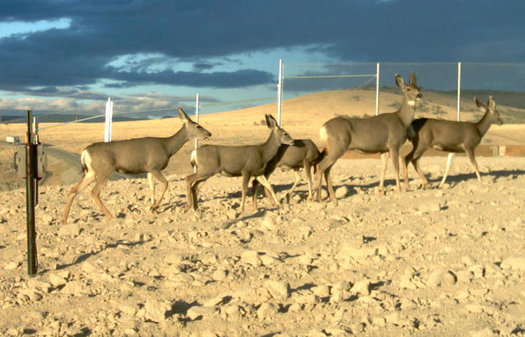 Mule deer use an overpass with fencing created to direct them over the road safely. (Nevada Department of Wildlife)