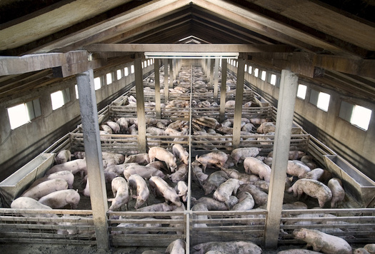 North Carolina is home to more than 2,000 hog farm operations. (Adobe Stock)