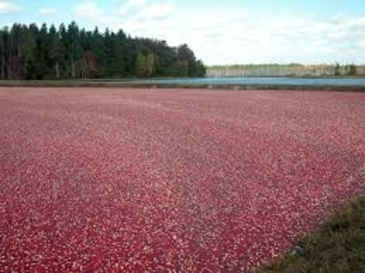 Wisconsin is the leading cranberry producer in the United States, but the trade war with China has hurt producers' bottom line. (Vilseskogen/Flickr)