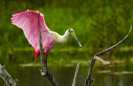 The Roseate Spoonbill (pictured) is among the species listed as endangered. (via flickr/MyFWCmedia)
