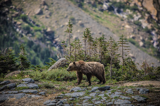 There are about 1,000 grizzly bears near Glacier National Park and 700 near Yellowstone National Park. (Glacier National Park Service/Flickr)