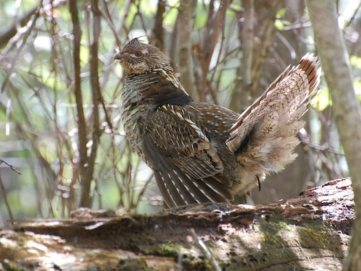 An annual bird count has shown an estimated 76% decline in ruffed grouse populations in southeast Pennsylvania. (JohnCindy/Adobe Stock)