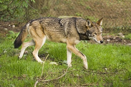 The American red wolf is one of the world's most endangered mammals. It once roamed from New Jersey to Texas, but only about 14 wolves live in the wild today, on the Albemarle Peninsula. (B. McPhee/USFWS/Wikimedia Commons)