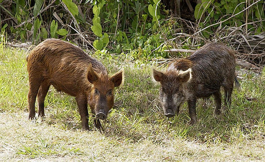 Wild pigs have become such a nuisance in Texas that this year, the state passed a new law allowing people to hunt them without a license. (NASA/Wikipedia)