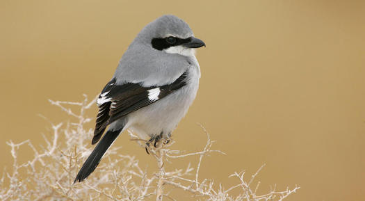 "New Mexico's masked black, white and gray loggerhead shrike is recognized as a ""common species in steep decline"" on the 2014 State of the Birds Watch List because of habitat loss, collisions and human disturbance. (audubon.org)"