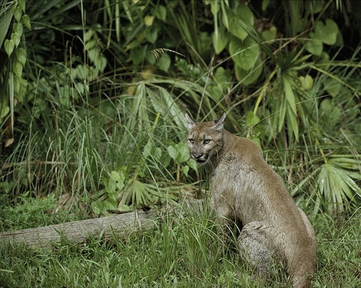 Nearly 12,000 species are at risk of becoming endangered or extinct across the country, including the Florida panther. (Pixabay)