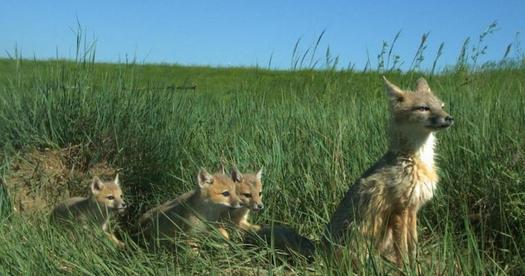 The loss of short and mixed-grass prairies in the Great Plains has significantly reduced South Dakota's swift fox population. (sdstate.edu)
