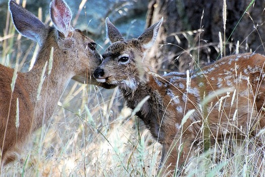 Migration routes allow mule deer and other species to move between winter habitat and areas with enough cover and food to give birth in spring. (Pixabay)