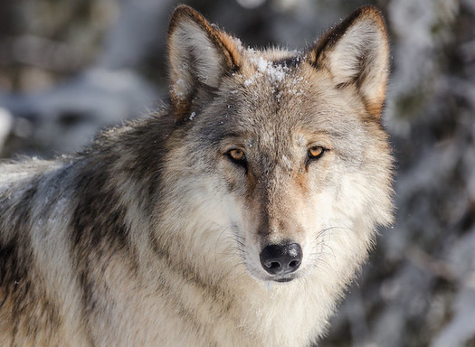 Yellowstone Celebrates 25 Years Of Wolves Return Public News Service