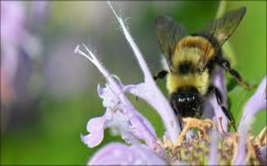 In addition to the Midwest and East Coast, the rusty patched bumble bee was also common in many parts of Canada. (U.S. Fish & Wildlife Service)