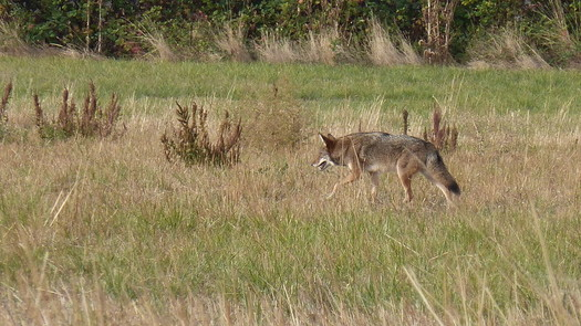Oregon'a coyote population is estimated to be around 300,000. (David K/Flickr)