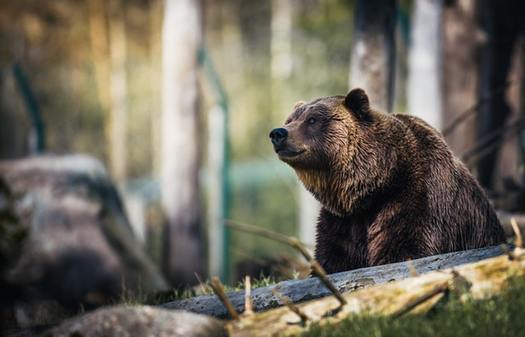 Last year the U.S. Fish and Wildlife Service authorized the killing of up to 72 grizzly bears over the 10-year life of a livestock grazing program on public lands in Wyoming. (Janko Ferlic/Pexels)