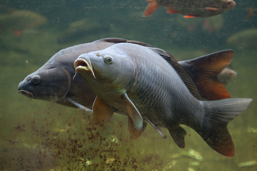 Asian carp are filter feeders, meaning they consume the base of the aquatic food chain, starving out and outcompeting native fish species. (Adobe Stock)