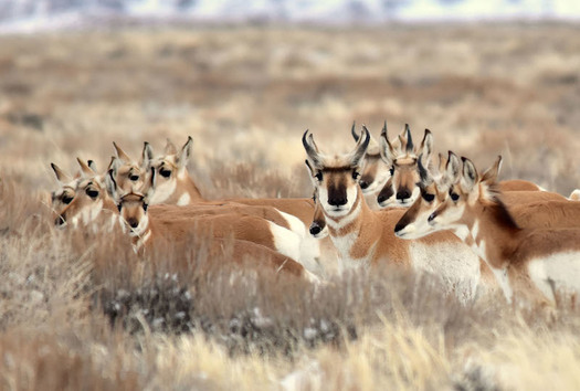 Pronghorn are the fastest land mammal in North America, with herds capable of traveling up to 60 miles per hour. (fws.org/TomKoerner)