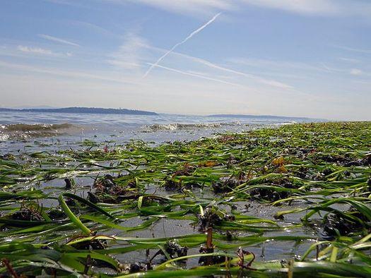 Eelgrass is critical habitat for juvenile crab and salmon. (David Ayers/U.S. Geological Survey)
