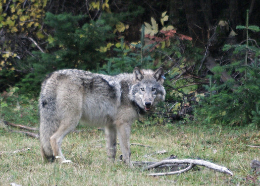 Oregon wolves are federally listed as endangered in the western part of the state. (ODFW/Flickr)