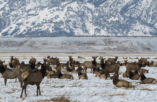 Wildlife officials detected chronic wasting disease in Jackson Hole in 2018, and biologists say it's just a matter of time before it reaches elk drawn to easy winter food supplies. (Wikimedia Commons)
