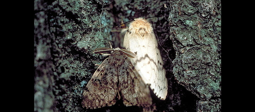 Folks in Maryland need to look out for European Gypsy moths before they damage plants and trees. (John H. Ghent/USDA Forest Service)