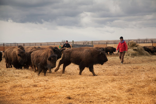 American Prairie Reserve's donation of bison meat to the Montana Food Bank Network is coming at time when some meat processors are closed due to COVID-19 (Mike Quist Kautz/APR)