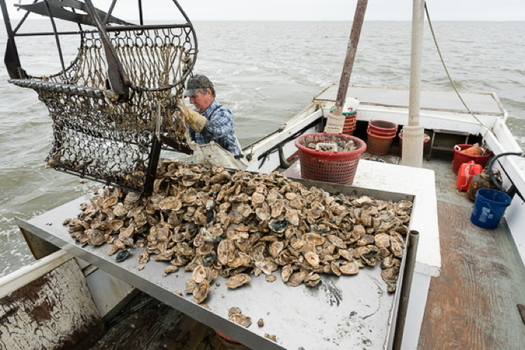 Maryland's nascent oyster industry may not survive the pandemic, scientists say. (Chesapeake Bay Program)