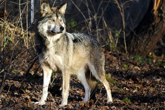 The Mexican gray wolf is one of several endangered species that would have its habitat reduced and fragmented if the U.S.-Mexico border wall is completed. (Roni/Adobe Stock)