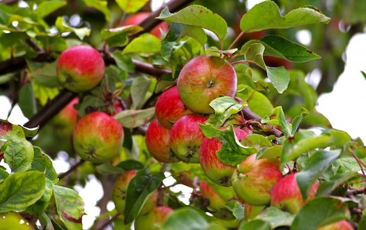 Colorado's historic apple orchards along the Dolores River gave way to hay, alfalfa and other crops that were more lucrative - and also more water intensive. (Pxhere)
