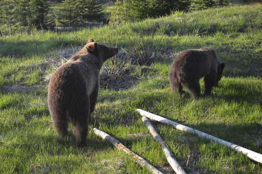 Grizzly bears were first protected by the Endangered Species Act in 1975. (Wikimedia Commons)