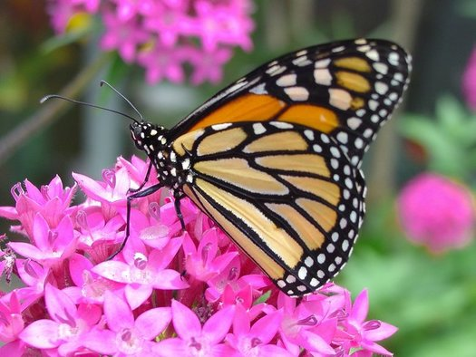 Observers of the monarch butterfly think some die because they've been leaving their overwintering sites early due to climate change, before their preferred food source, milkweed, starts to bloom. (Pollinators/Pixabay)