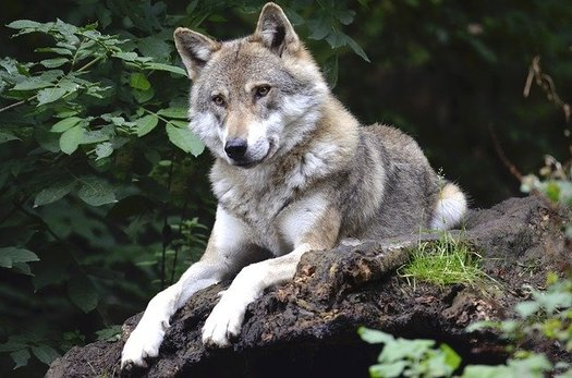 Supporters of reintroducing gray wolves to Colorado, a species humans had eradicated in the state by the 1940s, hope the move will restore balance to the region's ecosystem. (Wildfaces/Pixabay)