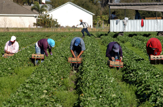 North Carolina is one of the largest users of the H-2A guest worker program, employing between 14,000 and 17,000 H-2A migrant workers annually. (Adobe Stock)