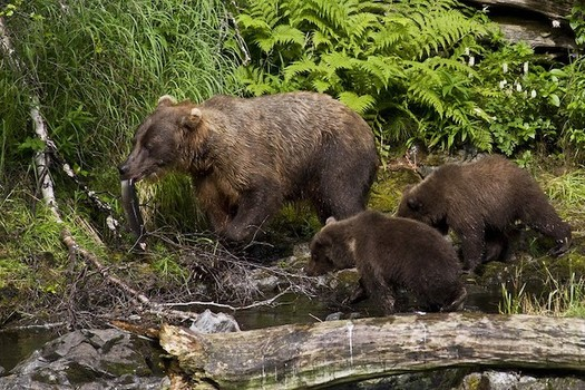 Brown bears on the Kenai peninsula in Alaska are an isolated and at-risk population. (Berkely Bedell/U.S. Fish and Wildlife Service)