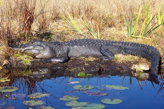 """The Okefenokee Wildlife Refuge is the largest blackwater swamp in North America, and one of the """"Seven Natural Wonders of Georgia."""" (Stacy Shelton/US Fish and Wildlife Service)"""