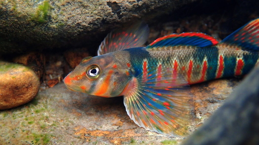 The candy darter is one endangered fish species that conservation groups want to protect from the effects of pipeline construction in Virginia and West Virginia. (Native Fish Coalition)