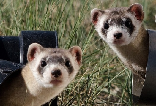 A new management plan released by the U.S. Forest Service would expand the shooting and poisoning of native prairie dogs, a critical food source for the endangered black-footed ferret. (Needpix)