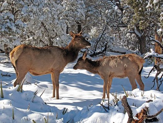 Wildlife advocates are concerned that drawing large numbers of elk to winter feedlots, where they are in close proximity for months at a time, could lead to outbreaks of chronic wasting disease. (NPS)