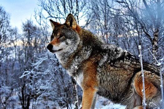 In Wyoming, 54 wolves were killed this year in trophy hunting season, with from 10 to 20 killed in livestock conflicts, out of a total population of 300. (Pixabay)