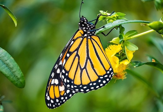 The latest status assessment says the population of monarch butterflies will continue to declineunless action is taken to protect it - and the probability for extinction of the western population is high. (Icewall42/Pixabay)